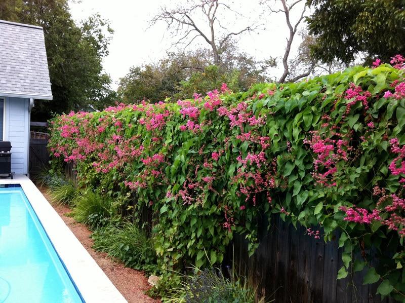 Poolside Hedge