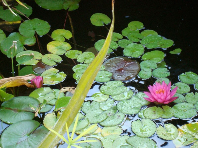 Pond Water Feature with Lillies