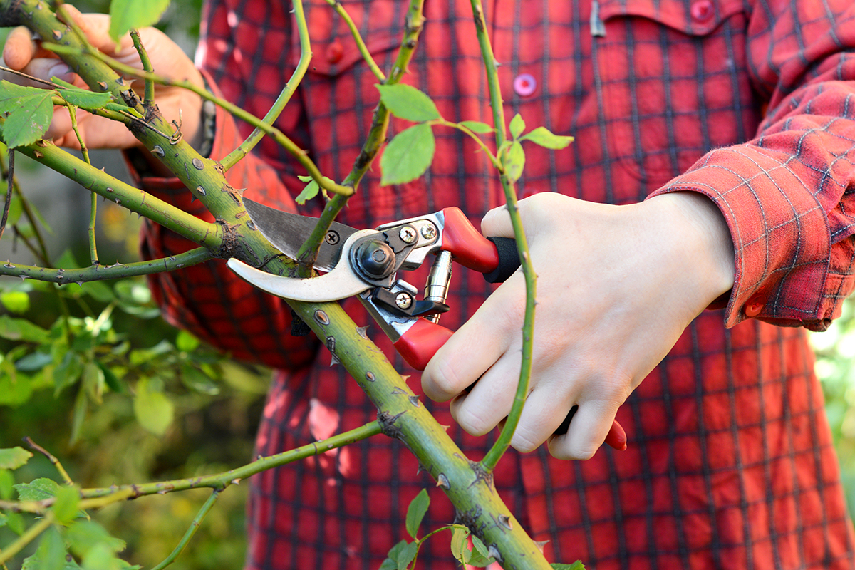 Roses + How to Prune Them